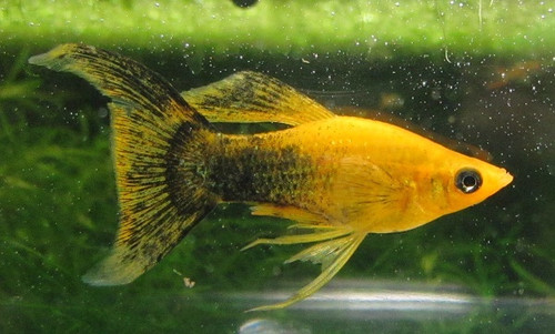 gold panda lyretail molly trin s tropical fish