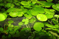 Brazilian Pennywort - Bunch