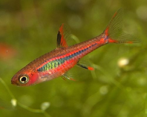 Chili Brigittae Rasbora - TRiN's Tropical Fish