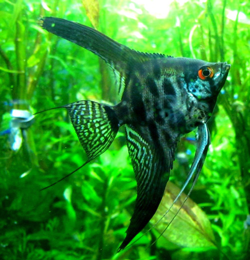 Black Zebra Lace Angelfish - TRiN's Tropical Fish