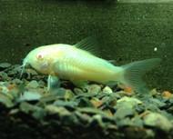 Albino Corydoras Cory Catfish