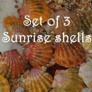 Set of 3 Sunrise shells #387-388-394
