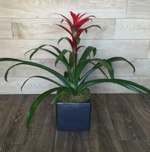 Bromeliad | Washington DC | Rockville MD