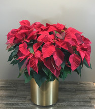 The Capitol Hill Poinsettia
