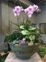 Double stemmed orchids surrounded by green plants and succulents - container may vary