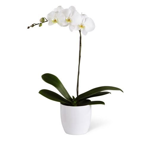 orchid standard single white or purple blooms in white pale