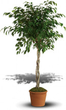Ficus Tree in decorative container plant rental in Washington DC and Rockville MD, Palace Florists