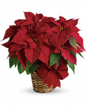 Red Pointsettia in Rockville MD, Palace Florists