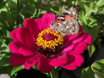 American Painted Lady on Zinnia 'Meteor'.