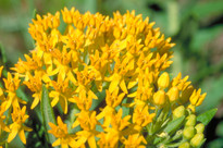 Hello Yellow Butterfly Weed Seed Packet
