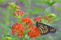 Butterfly Weed Seed Packet