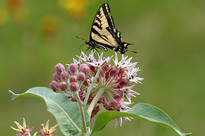 Showy Milkweed Seed Packet