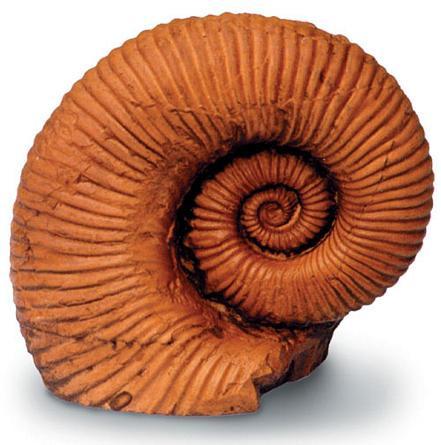 Ammonite - Photo Museum Store Company