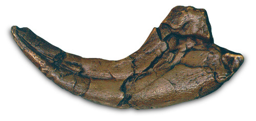Utahraptor Claw with Stand - Photo Museum Store Company