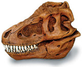 Trex Skull with Stand - Photo Museum Store Company