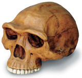 Homo erectus Cranium with Stand - Photo Museum Store Company