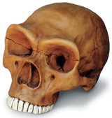 Neandertal Cranium with Stand - Photo Museum Store Company