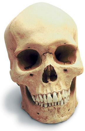 Human Male Skull with Stand - Photo Museum Store Company