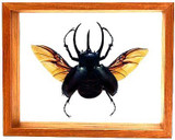 "Chalcasoma Caucasus with wings spread - 8"" x 10""  : Beetle Specimen Framed - Photo Museum Store Company"