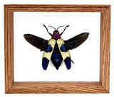 "Chrysochroa Rugicollis - 5"" x 6""  : Beetle Specimen Framed - Photo Museum Store Company"
