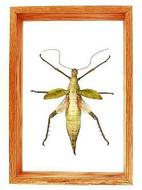"Heteropteryx Dilatata - 11"" x 9"" : Beetle Specimen Framed - Photo Museum Store Company"