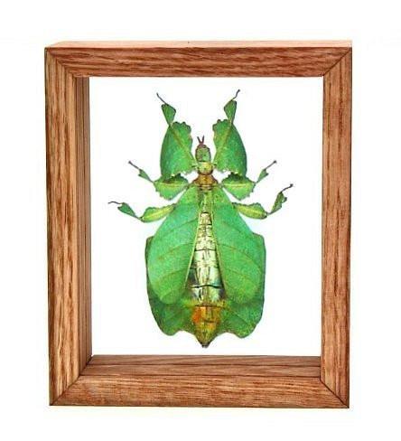 """Phyllium Pulchrifolium - 6"""" x 5""""  : Leaf Mimic Specimen Framed - Photo Museum Store Company"""