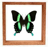 "Papilio Blumei - 8"" x 8""  : Butterfly Specimen Framed - Photo Museum Store Company"