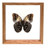 "Owl Butterfly - 8"" x 8""  : Butterfly Specimen Framed - Photo Museum Store Company"