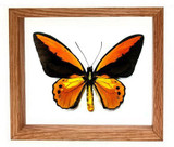 "Ornithoptera Croesis Lydius - 7"" x 8""  : Butterfly Specimen Framed - Photo Museum Store Company"
