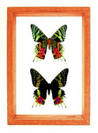 """Urania Riphaeus - 10"""" x 7""""  : Moth Specimen Framed - Photo Museum Store Company"""