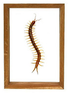"Scolopendra Subspinipes - 10"" x 7""  : Centipede Specimen Framed - Photo Museum Store Company"