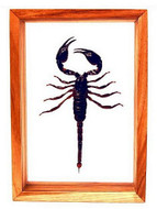 "Giant Scorpion - 10"" x 7""  : Scorpion Specimen Framed - Photo Museum Store Company"