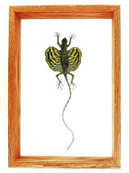 "Draco sp. (Flying Lizard) - 13"" x 9""  : Flying Lizard Specimen Framed - Photo Museum Store Company"
