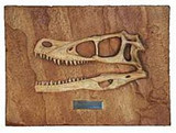 Velociraptor Mongoliensis (Dinosaur Fossil Reproduction) Late Cretaceous Period - Photo Museum Store Company