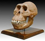 Australopithecus Afarensis Skull (Hominid Skull Reproduction) - Photo Museum Store Company