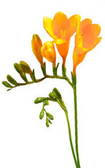 Freesia  -10 stems