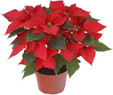 Grower Select Red Poinsettias