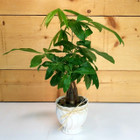 Money Tree (SCF9515) Plants and Flowers with same day delivery from Savilles Country Florist