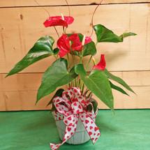 Anthurium Plant (SCF17V14)