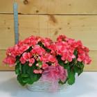 Double Pink Begonia (SCF17S30)