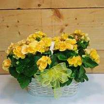 Double Yellow Begonia (SCF17S31)
