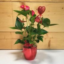 Anthurium Plant for Valentine's Day (SCF18V06)