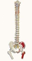 Life-Size Flexible Human Spinal Column