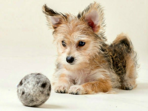 Our wool balls are durable, natural, and safe for your dog's teeth.