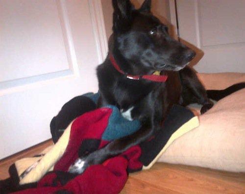 Black shepard mix sleeping on red wool pet blanket