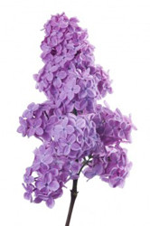 Fragrance Refills - Lilac
