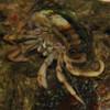 Brown Legged Hermit Crabs