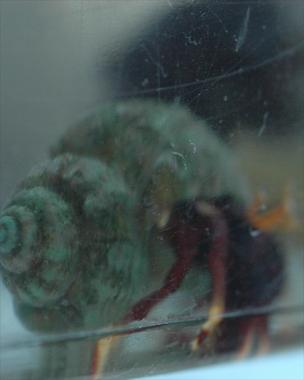 Saltwater Hermit Crab