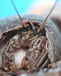 Saltwater Striped Hermit Crab