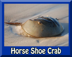 Saltwater Horseshoe Crab
